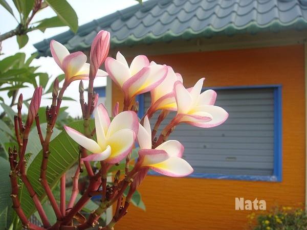 01.Orange house前的雞蛋花.jpg