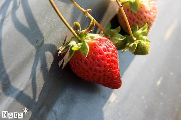 04.這裡的草莓確實是比較大顆唷.jpg