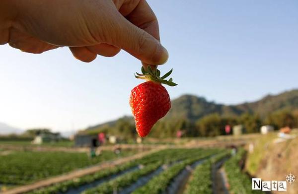 05.好似紅寶石一般的草莓.jpg