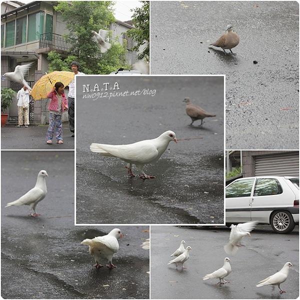07.小白鴿.jpg