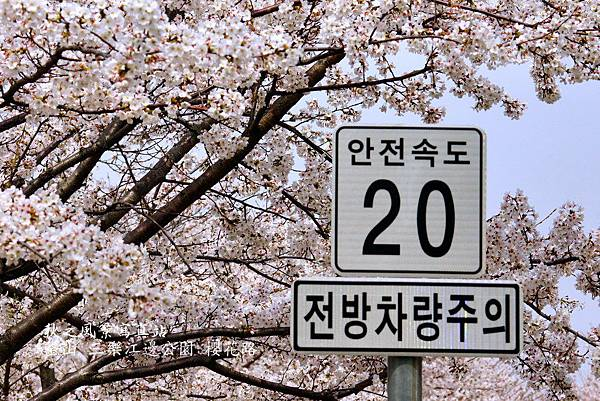 三樂公園櫻花路12