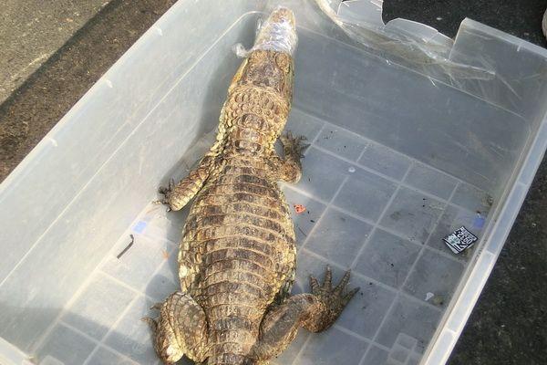 雲林水溝發現鱷魚.jpg