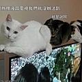 120914-現在大家都知道,不要小看貓跟五迷的實力!(驕傲)