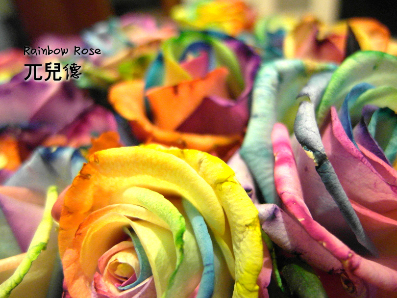 彩虹玫瑰3