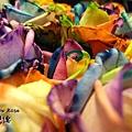 彩虹玫瑰4