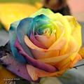 彩虹玫瑰5