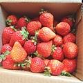 大直草莓園(20)