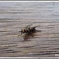 蒼蠅    ㄚ哈哈哈哈無聊就拍一下