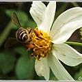 蜜蜂 腳上滿滿的花粉