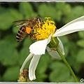 蜜蜂腳上滿滿的花粉