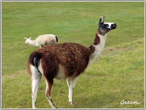 馬丘比丘山城內豢養羊駝處3.JPG