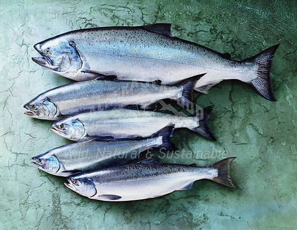 all-alaska-salmon-species.jpg