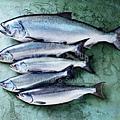 all-alaska-salmon-species.jpg