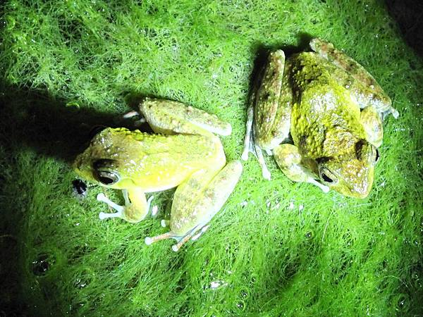 青蛙生態.jpg