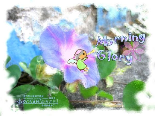 morning glory2.jpg