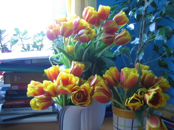 tulpen x 50