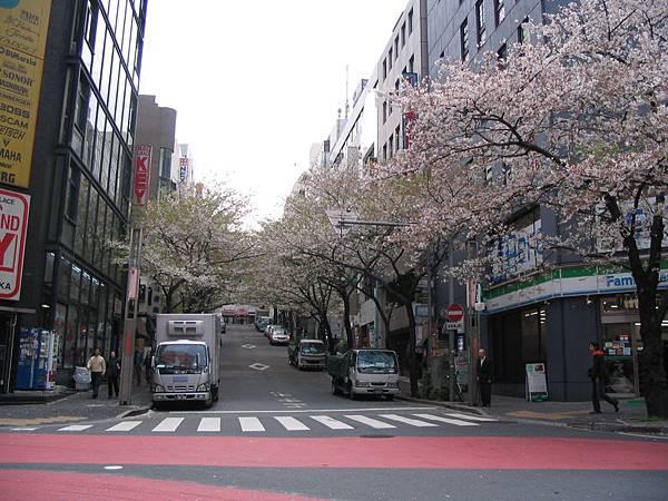 涉谷的櫻花