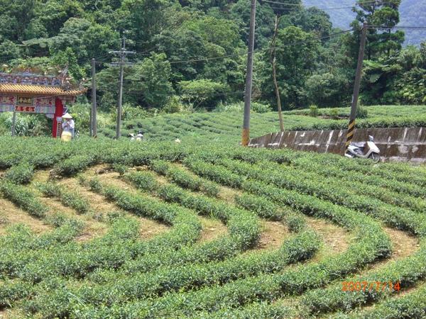 坪林茶山風貌