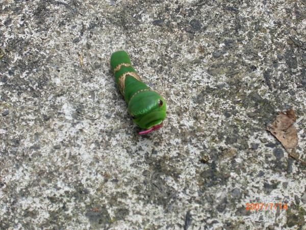 超可愛綠毛蟲