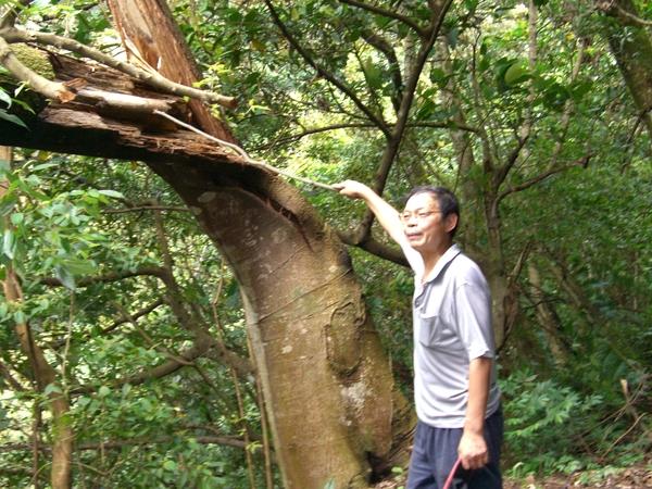 被風折斷的樹