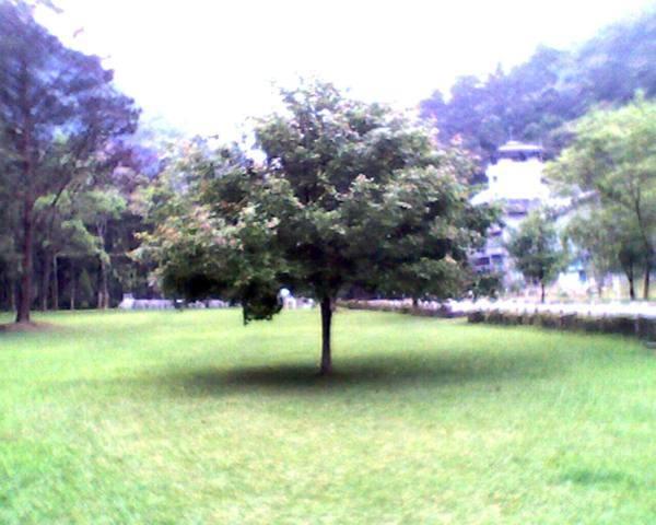 一棵樹~好像一朵香菇喔