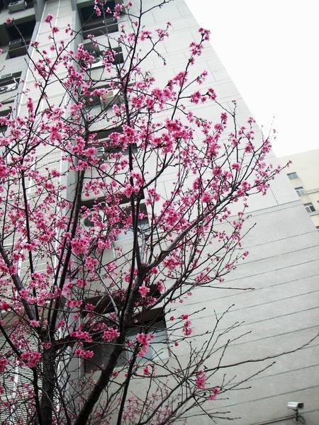 化學系前的櫻花