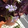 紫色酢漿草的小花