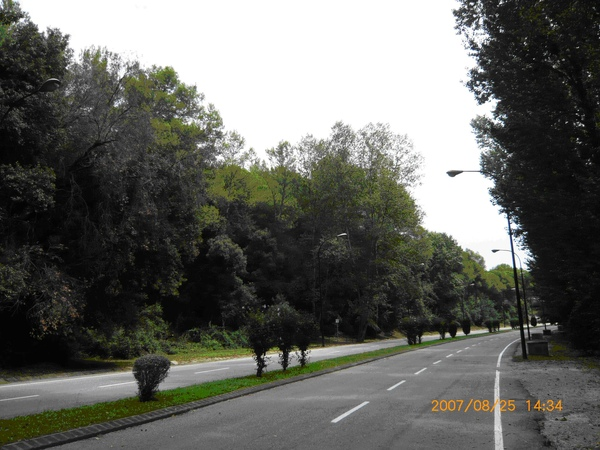 學校環外道路旁的樹.JPG