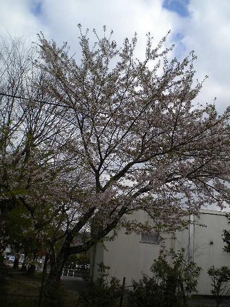 學校前種的櫻花.jpg
