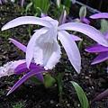 紫色一葉蘭