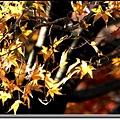 黃楓葉.jpg