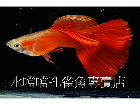 ☆☆☆特選大背黃化全紅☆☆☆水噹噹高雄孔雀魚專賣店