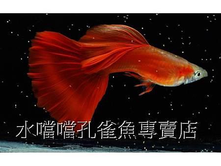水噹噹孔雀魚專賣店002.jpg