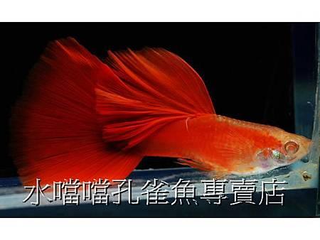 ☆特選大背全紅白子☆水噹噹高雄孔雀魚專賣店