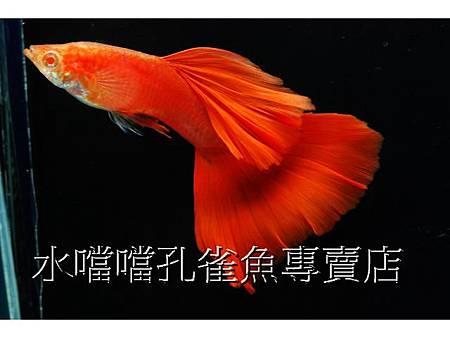 水噹噹孔雀魚專賣店007.jpg