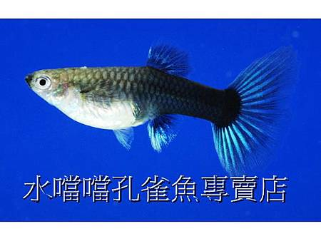 水噹噹孔雀魚專賣店005.jpg