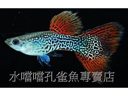 水噹噹孔雀魚專賣店001.jpg