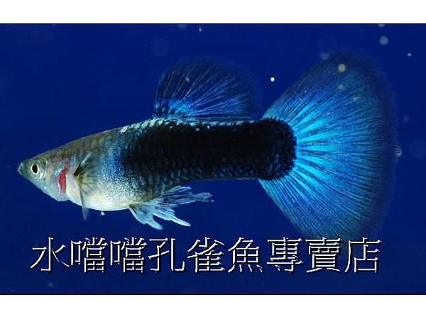 水噹噹孔雀魚專賣店☆特價藍尾禮服☆水噹噹.每對100元.