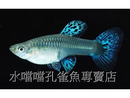 水噹噹孔雀魚專賣店004.jpg