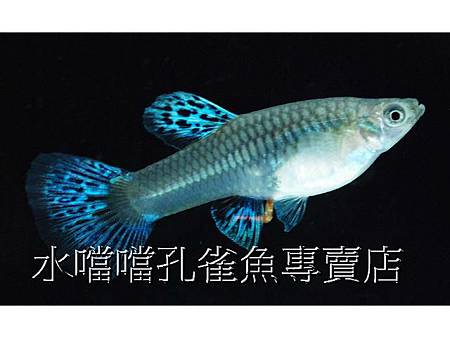 水噹噹孔雀魚專賣店003.jpg
