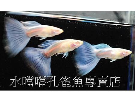 水噹噹孔雀魚專賣店008.jpg