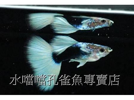 水噹噹孔雀魚專賣店010.jpg