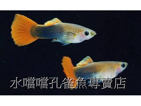 高雄水噹噹孔雀魚專賣店