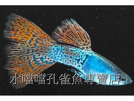 水噹噹孔雀魚專賣店009.jpg