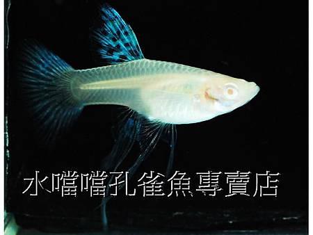 水噹噹孔雀魚專賣店006.jpg