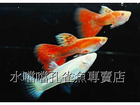☆☆☆特價珊瑚紅草尾白子☆☆☆高雄水噹噹孔雀魚專賣