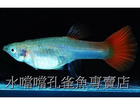 水噹噹孔雀魚007.jpg