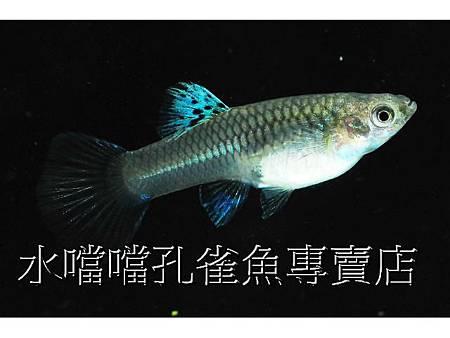 ☆☆☆藍草尾緞帶☆☆☆高雄水噹噹孔雀魚專賣