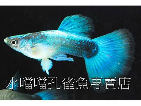 水噹噹孔雀魚001.jpg