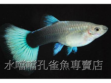 水噹噹孔雀魚003.jpg
